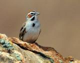 Sparrow Lark D-005.jpg