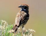 Sparrow Lark D-003.jpg