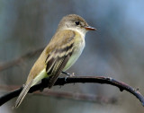 Flycatcher Willow D-002.jpg