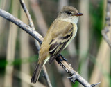 Flycatcher Willow D-005.jpg