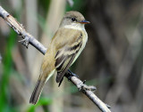 Flycatcher Willow D-006.jpg