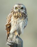 Owl Shot-eared D-137.jpg