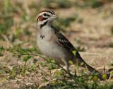 Sparrow Lark D-006.jpg