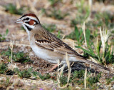 Sparrow Lark D-013.jpg