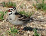 Sparrow Lark D-015.jpg