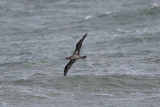 Seabirds, Havsfåglar