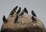 Sturnus, Starlings, Starar