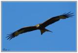 Oiseaux de Corse et Tarn 2010
