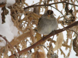 011 White-crowned sparrow.JPG