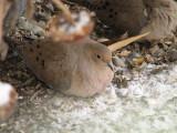 048 Mourning dove.JPG