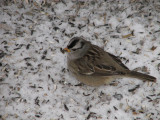 096 White-crowned sparrow.JPG