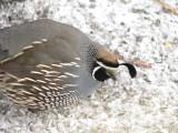 155 California quail male.JPG
