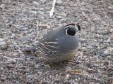 002.JPG California quail, male