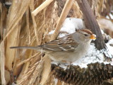 010 White-crowned sparrow.JPG