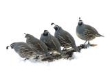 003.JPG California quail