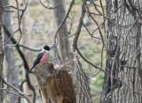 001_1 Lewis's woodpecker.jpg
