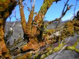 Lichens on sagebrush