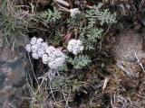 salt and pepper, Lomatium piperi