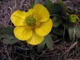 Sagebrush buttercup, Ranunculus glaberrimus