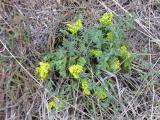Gray's desert parsley, Lomatium grayi