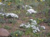 Wildflower's Cowiche Canyon