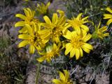 Goldenweed, Haplopapus Sp.