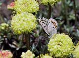 Square-dotted blue on buckwheat, Eriogonum sp.