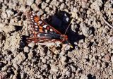 Checkerspot butterfly, Euphydryas sp.