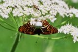 Spider captured checkerspot butterfly