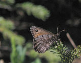 Great Arctic butterfly, Oeneis nevadensis
