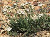 IMG_0446Yarrow Achillea millifolium.JPG