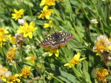 IMG_0462Ediths checkerspot butterfly  on mountain arnica .JPG