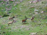 IMG_0484Elk Goat Rocks Wilderness .JPG