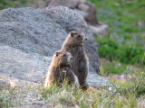 IMG_0500Young hoary marmots.JPG