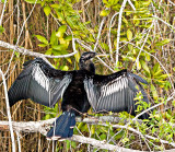The Majestic Anhinga drying his wings
