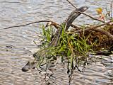 An Everglades Gator