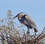 A nesting Great Blue Heron