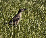 A Female grackle checks the lawn.
