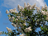 Crepe  Myrtle tree blossoms