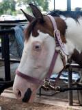 A Blue Eyed Horse?