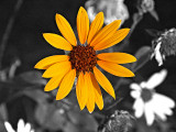 The Black Eyed Susan
