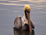 A Serious Pelican