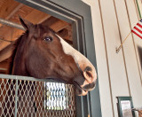 His name is LoKesh and he stands 19 hands tall, the tallest horse at the Kentucky Horse Park