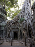 Ta Prohm - Tomb Raider tree