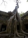 Ta Prohm - iconic crocodile tree
