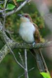 Black-Billed Cuckoo Coccyzus Erythropthalmus