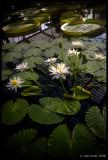 Lily House, Kew