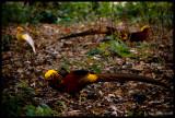 Golden Pheasants, Kew