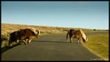 Blonde Ponies Crossing