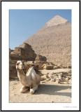 Camel squatting